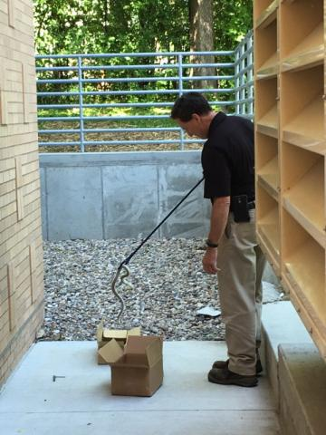 Staff at Integrated Pest Management remove snake